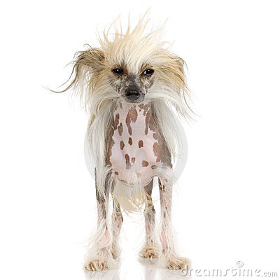 Free Chinese Crested Dog - Hairless Stock Photo - 2671720