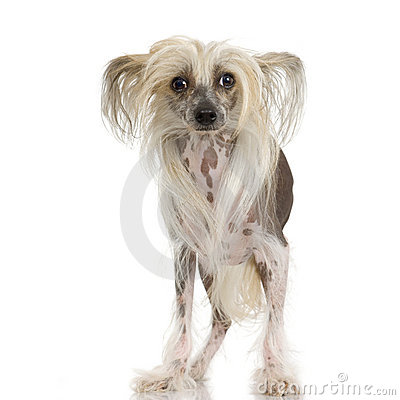 Free Chinese Crested Dog - Hairless Stock Photos - 2671753