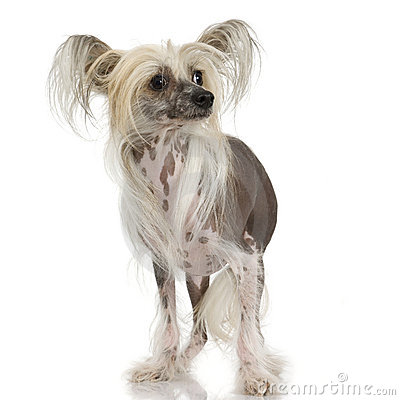 Free Chinese Crested Dog - Hairless Stock Photography - 2671832