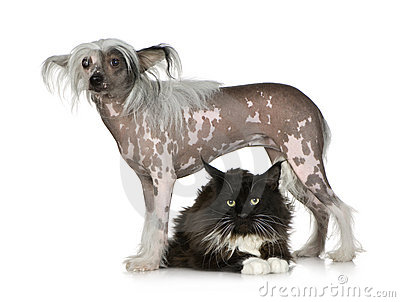 Chinese Crested Dog - Hairless and maine coon