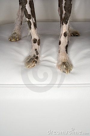 Chinese Crested dog paws.