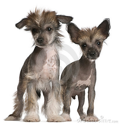 Free Chinese Crested Dog Puppies, 2 Months Old Royalty Free Stock Photo - 20376185
