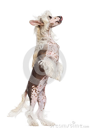 Chinese Crested dog standing on hind legs