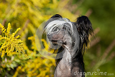 Chinese Crested Hairless Dog Portrait