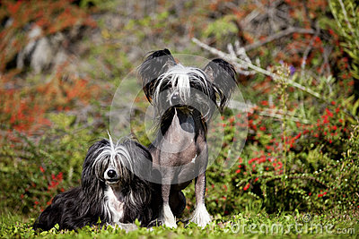 Chinese Crested Hairless and Poderpuff Dogs