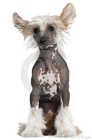 Chinese Crested puppy, 4 months old