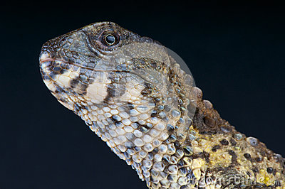 Chinese crocodile lizard / Shinisaurus crocodilurus