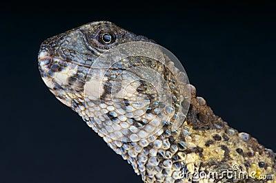 Chinese crocodile lizard / Shinisaurus crocodilurus