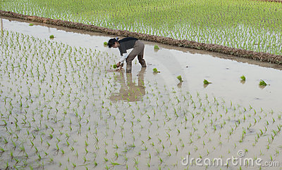 Chinese famer doing work at  Young Paddy Field