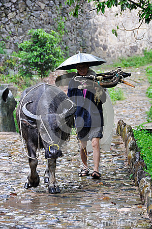 Chinese farmer with buffalo in the rain Editorial Stock Photo