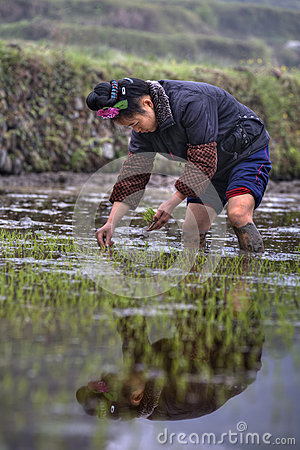 Chinese farmer girl Transplanting Rice Seedlings into the Rice P Editorial Stock Photo