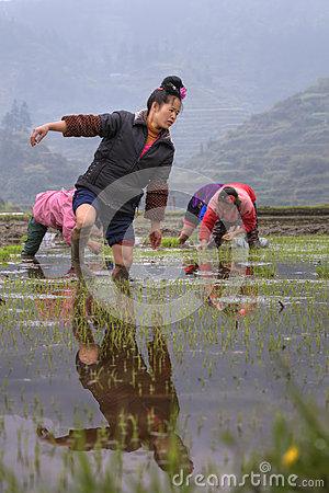 Chinese farmer girl walks barefoot through mud of paddy field. Editorial Stock Photo