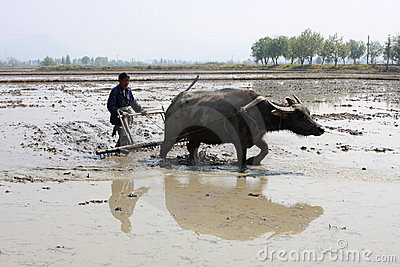 The Chinese farmer is plowing Editorial Stock Image