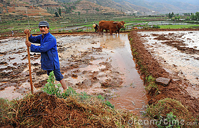 Chinese farmer works hard on rice field Editorial Stock Photo