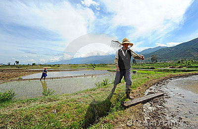 Chinese farmer works in a rice field Editorial Stock Image