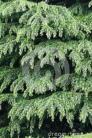 Chinese fir