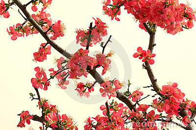 Chinese flowering crab-apple