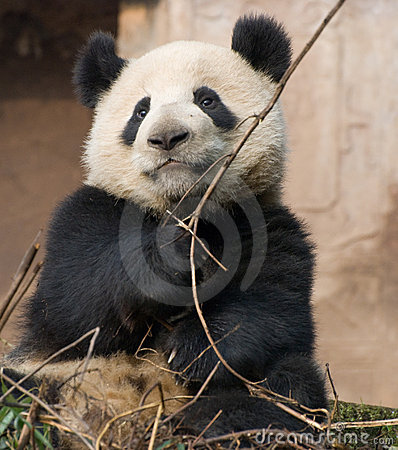 Chinese Giant Panda Stock Photo - Image: 8804440