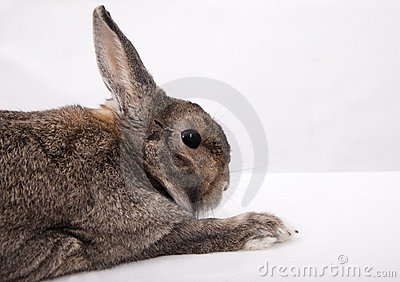 Chinese gray  Rabbit
