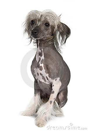 Chinese hairless crested dog, 2 years old