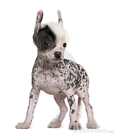 Chinese hairless crested dog, 6 weeks old
