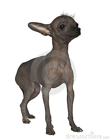 Chinese hairless dog, 7 months old, standing on