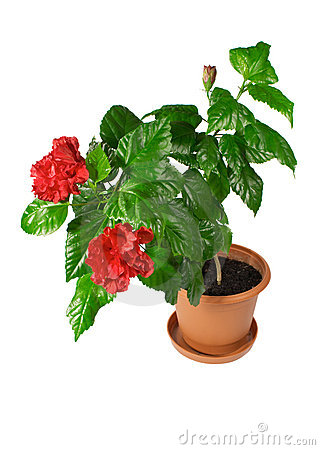 Free Chinese Hibiscus Royalty Free Stock Photos - 9183828