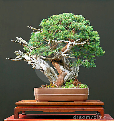 Free Chinese Juniper Bonsai Stock Photo - 3459600
