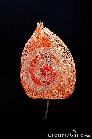 Chinese lantern flower #2