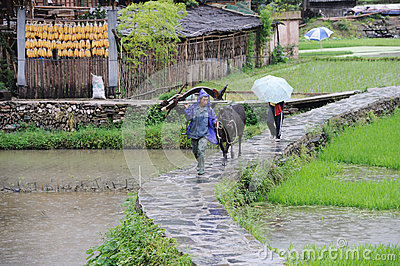 Chinese Miao nationality farmer in the rain Editorial Photography