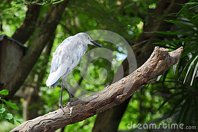 Chinese Pond Heron (Ardeola bacchus),Bird stand on