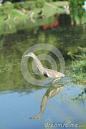 Chinese Pond Heron Bird