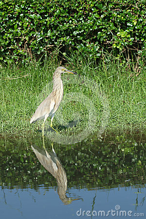 Chinese Pond Heron Bird