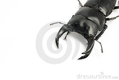 Chinese Stag-beetle