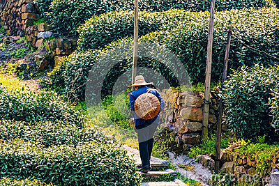 Chinese tea farmer Editorial Stock Photo