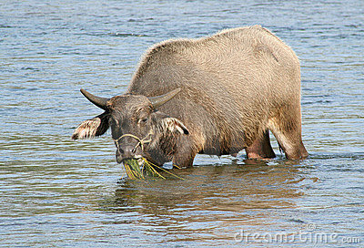 Chinese water buffalo