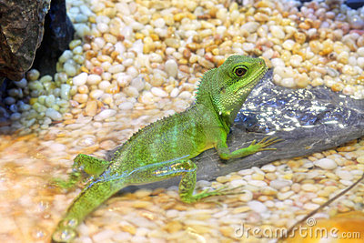 Chinese Water Dragons