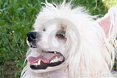 Chinesischer Zuchthund mit Haube