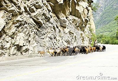 Chinesischer Landwirt, der Schafe in Herden lebt