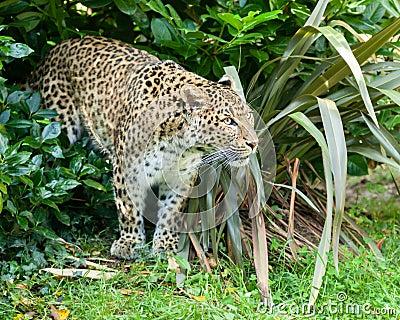Chinesischer Nordleopard, der durch Bush sich anpirscht