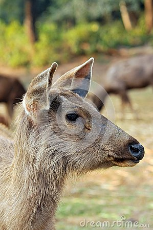 Chinkara deer