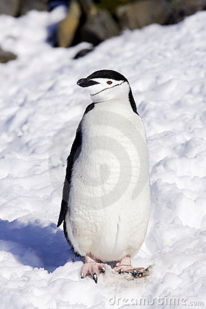 Chinstrap Penguin Antarctica