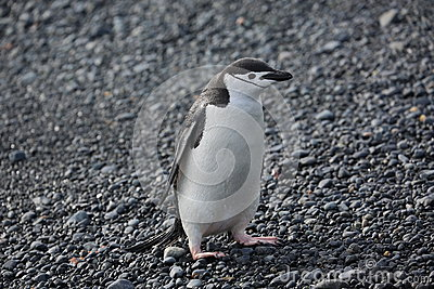 Chinstrap penguin in Antarctica
