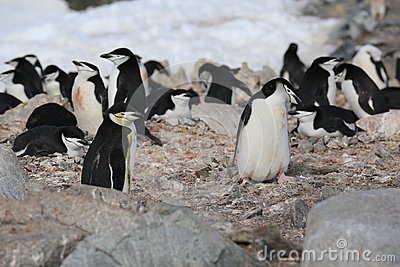 Chinstrap penguin rookery in Antarctica
