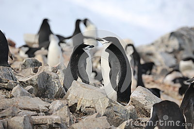 Chinstrap penguins are dreaming in Antarctica