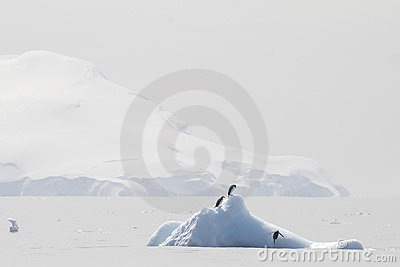 Chinstrap Penguins on an iceberg in Antarctica