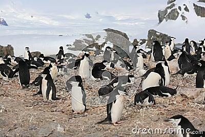 Chinstrap pingwinu rookery w Antarctica