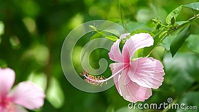Chiny róży wiatr i kwiat zbiory wideo