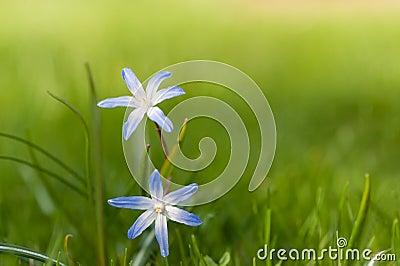 Chionodoxa (Gloria-de--nieve) en primavera