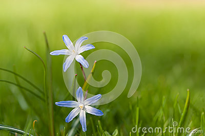 Chionodoxa (Glory-of-the-snow) in spring